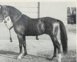 horse Hassan ox (Arab half breed / Partbred, 1951, from Hazard ox)
