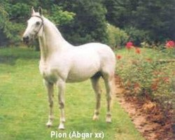 horse Pion (Dutch Warmblood, 1974, from Abgar xx)