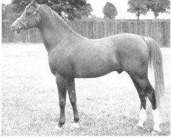 horse Count Dorsaz ox (Arabian thoroughbred, 1945, from Rissalix EAO)