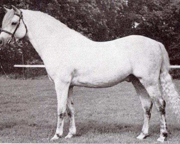 horse Coed Coch Berwynfa (Welsh-Pony (Section B), 1951, from Tan-Y-Bwlch Berwyn)