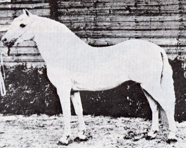 horse Tan-Y-Bwlch Berwyn (Welsh-Pony (Section B), 1924, from Sahara ox)