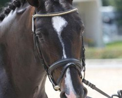 dressage horse San Farina (Württemberger, 2006, from Sandro Hit)