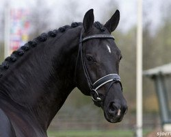 horse San Remo (Hanoverian, 1999, from Wolkentanz I)