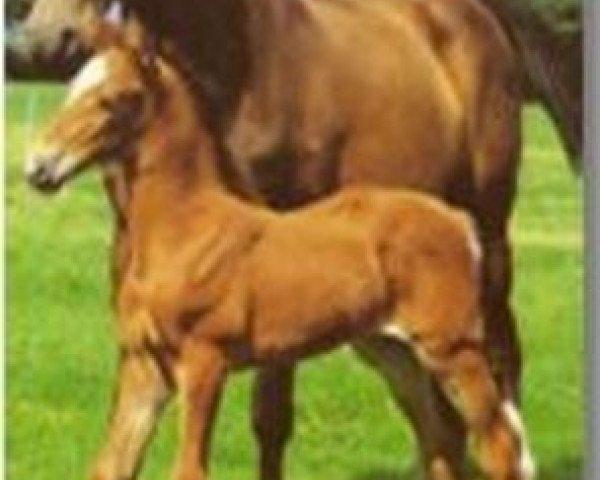 horse Aumina (Holsteiner, 1964, from Roman)