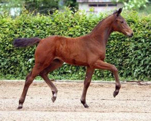 dressage horse Win win (German Sport Horse, 2012, from Foundation 2)