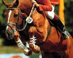 horse Calipso (Holsteiner, 1978, from Calypso I)