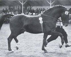 horse Marder (Holsteiner, 1949, from Makler I)