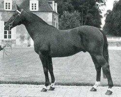 horse Mexico (Selle Français, 1956, from Furioso xx)
