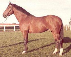 horse Metellus (Holsteiner, 1968, from Marinus)