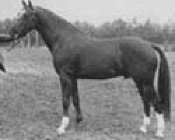 dressage horse Maykel (Royal Warmblood Studbook of the Netherlands (KWPN), 1971, from Exilio xx)
