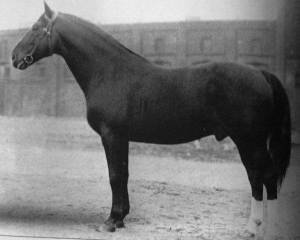 horse Pirol (Trakehner, 1918, from J.Pilot)
