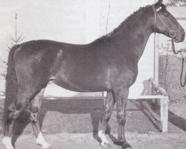 jumper Codex (Holsteiner, 1962, from Cottage Son xx)