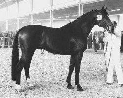 horse Komeet (Holsteiner, 1969, from Sable Skinflint xx)