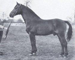 horse Heidekrug (Holsteiner, 1940, from Heintze)