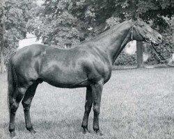 horse Arlequin AA (Anglo-Arabs, 1963, from Massondo AA)