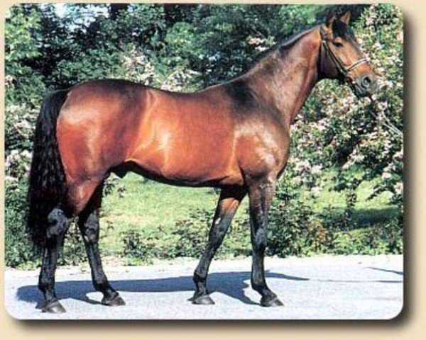 horse Kwartet AA (Anglo-Arabs, 1982, from Arlequin AA)