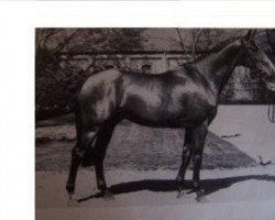 horse Cacir AA (Anglo-Arabs, 1981, from Cacique AA)