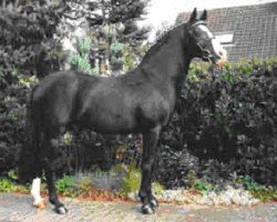 horse Valido (German Riding Pony, 1985, from Very Important)