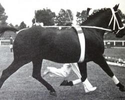 horse Florentiner II (Hanoverian, 1953, from Fluegeladjutant)
