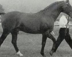 horse Ozean (Trakehner, 1952, from Ernest)