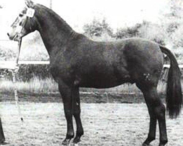 horse Gardestern I (Hanoverian, 1974, from Gotthard)