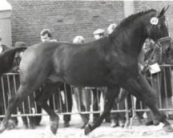 horse Goldstern (Hanoverian, 1972, from Gotthard)