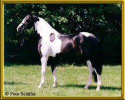 horse Semper (Oldenburg, 1995, from Sandro)