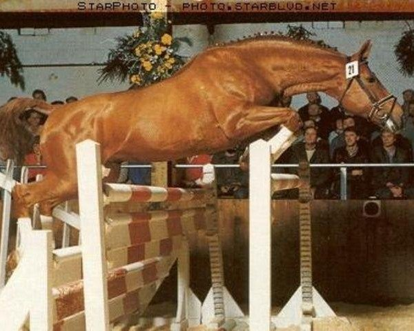 horse Gepard (Hanoverian, 1974, from Gotthard)