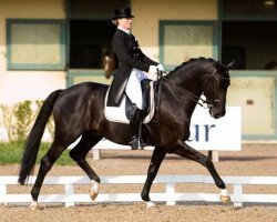 dressage horse Painted Black (Royal Warmblood Studbook of the Netherlands (KWPN), 1997, from Gribaldi)