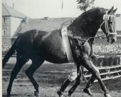 horse Frustra II (Hanoverian, 1943, from Futurist I)