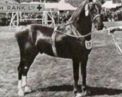 horse Welsh Echo (Welsh-Cob (Sek. C), 1943, from Welsh Patriot)