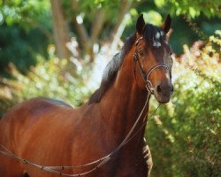 horse Limbus (Holsteiner, 1991, from Landgraf I)