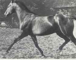 horse Steinpilz xx (Thoroughbred, 1950, from Blasius xx)