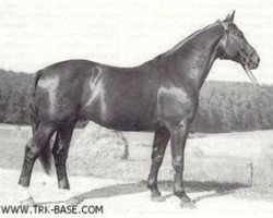 horse Gabriel (Trakehner, 1950, from Gigant)
