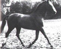 horse Duellant (Hanoverian, 1943, from Dolman)