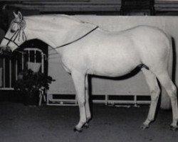 horse Bwlch Valentino (British Riding Pony, 1950, from Valentine)