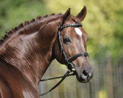 dressage horse Fürst Piccolo (Rhinelander, 1997, from Fidermark I)