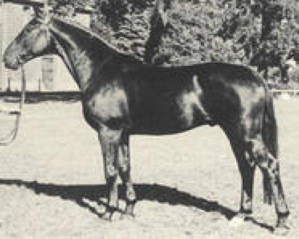 horse Domspatz (Hanoverian, 1952, from Dömitz I)