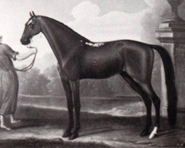 horse Curwen Bay Barb (Berber, 1681)