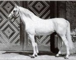 horse Ramzes AA (Anglo-Arabs, 1937, from Rittersporn xx)