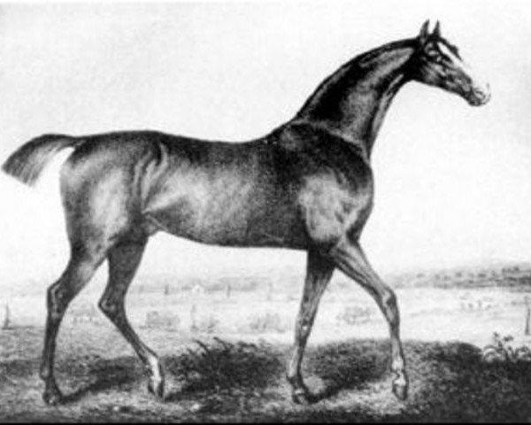 horse Selim xx (Thoroughbred, 1802, from Buzzard 1787 xx)