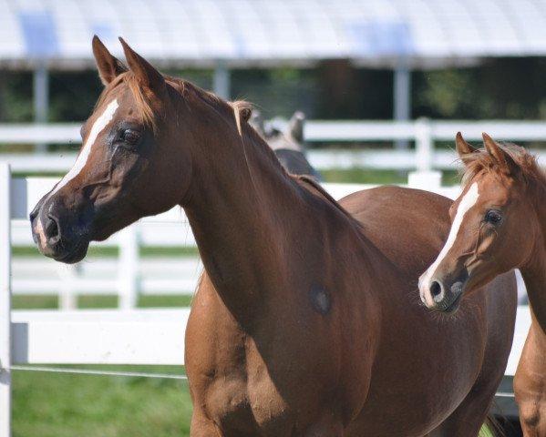 horse Camar Qarubi (Arabian thoroughbred, 2006, from Moshai ox)