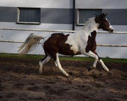 horse Gabi ala Grande (Polish Warmblood, 2019)
