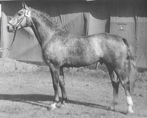 horse Roman (Holsteiner, 1960, from Ramzes AA)