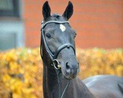 dressage horse Dante Weltino OLD (Oldenburg, 2007, from Danone I)
