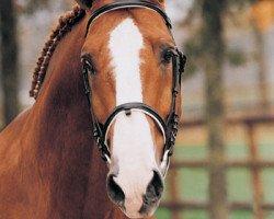 horse Sable Rose (Selle Français, 1984, from Uriel)