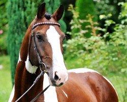 dressage horse Samico F (Hessian Warmblood, 1994, from Samber)